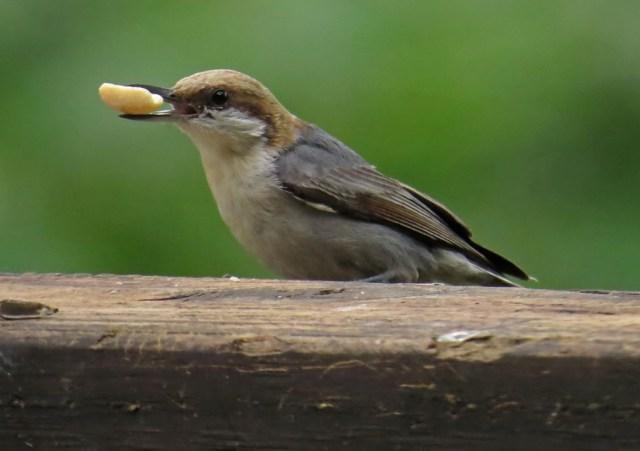 Brown-headed Nuthatch enjoying a peanut.