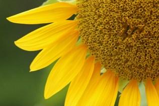 sunflower10