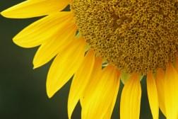 sunflower11