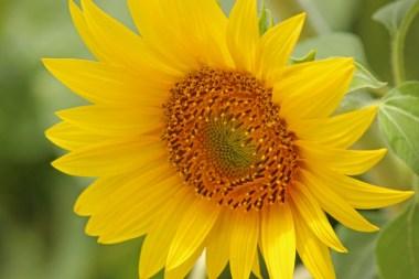 sunflower12