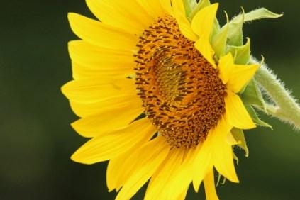 sunflower9