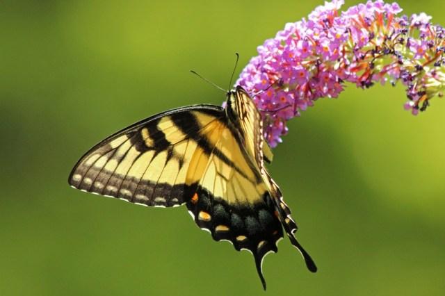 swallowtail5