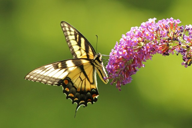 swallowtail6