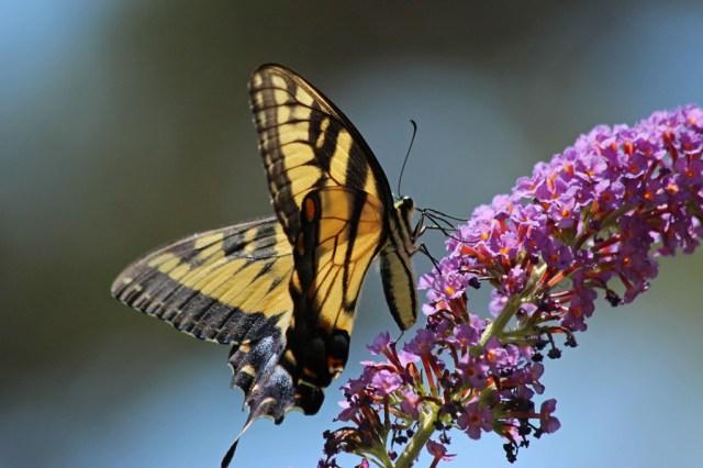 swallowtail8