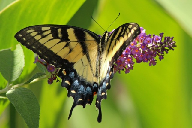 Tigerswallowtail1