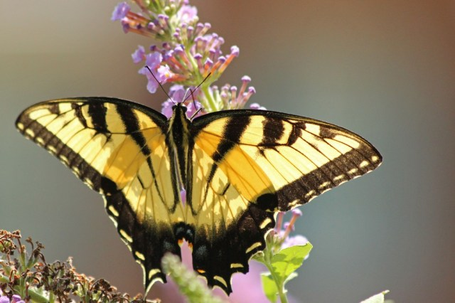 tigerswallowtail2