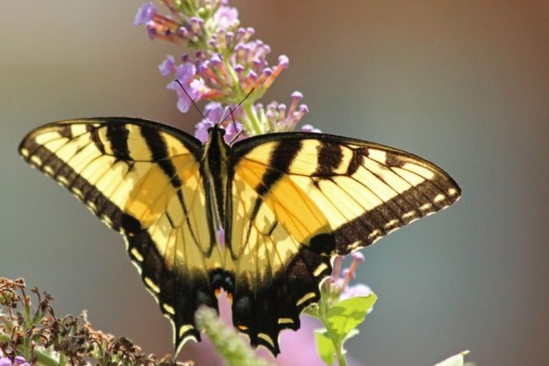 tigerswallowtail2