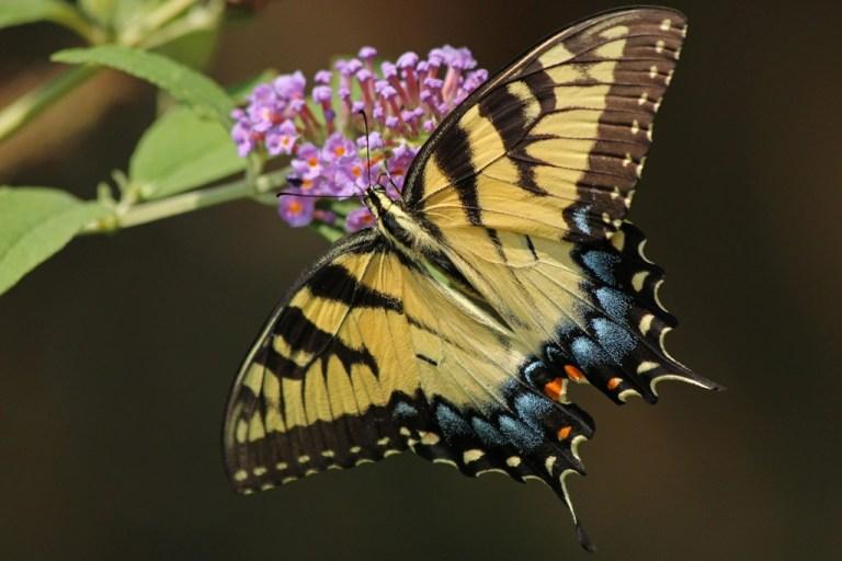 tigerswallowtail3