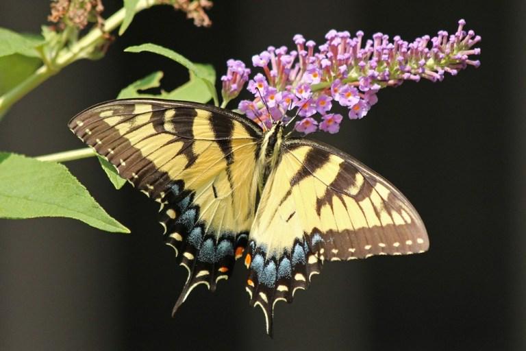 tigerswallowtail4
