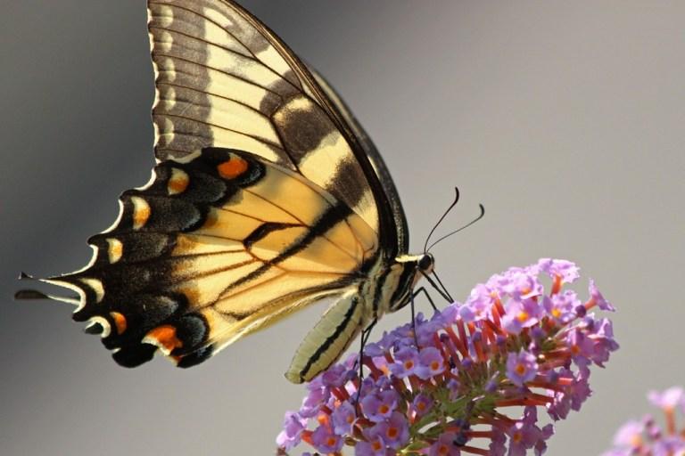 tigerswallowtail5