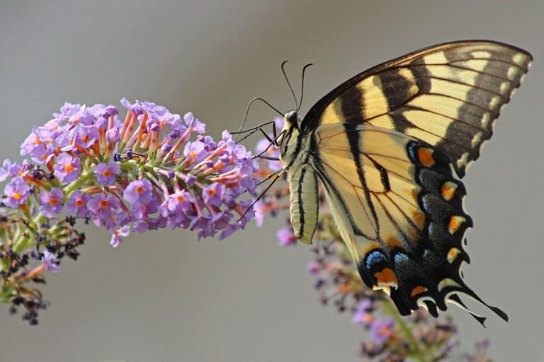 tigerswallowtail6