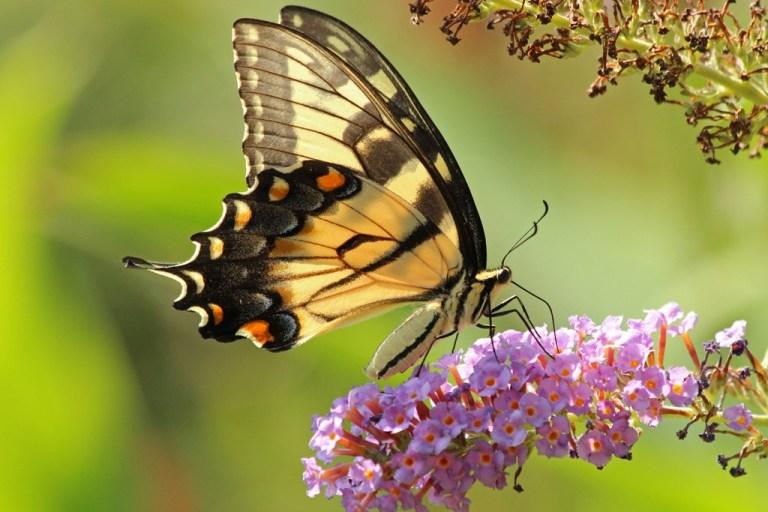 tigerswallowtail7