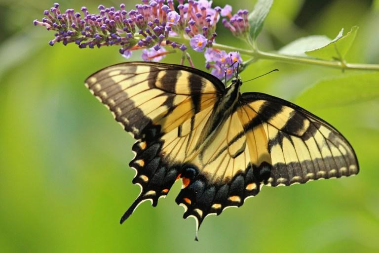 tigerswallowtail8