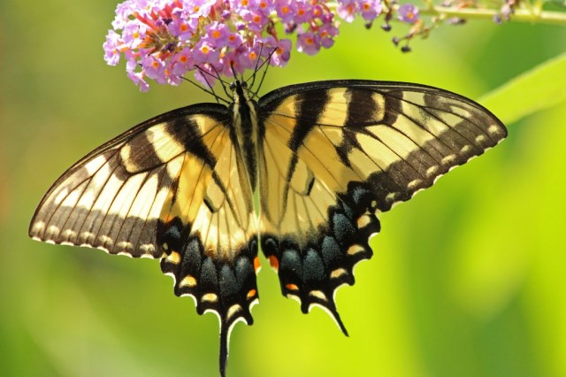 tigerswallowtail9