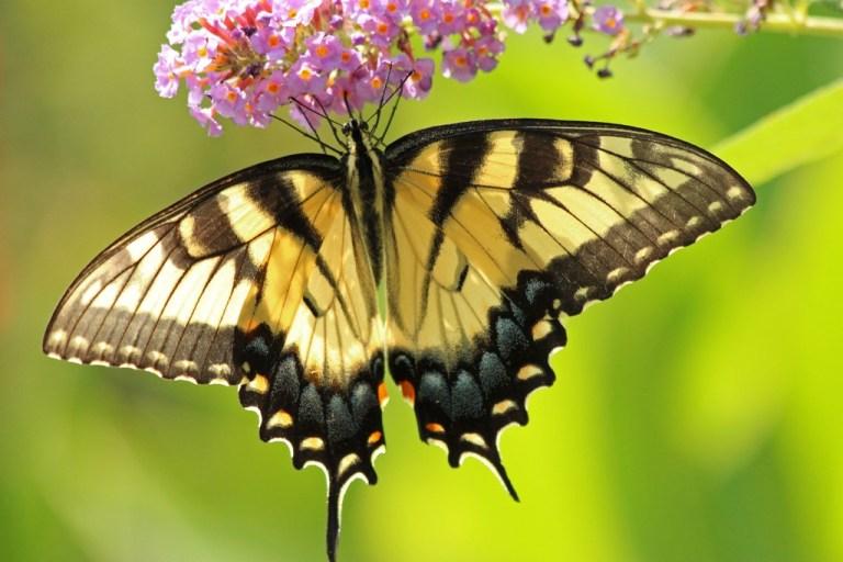 tigerswallowtail9