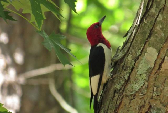 woodpecker7