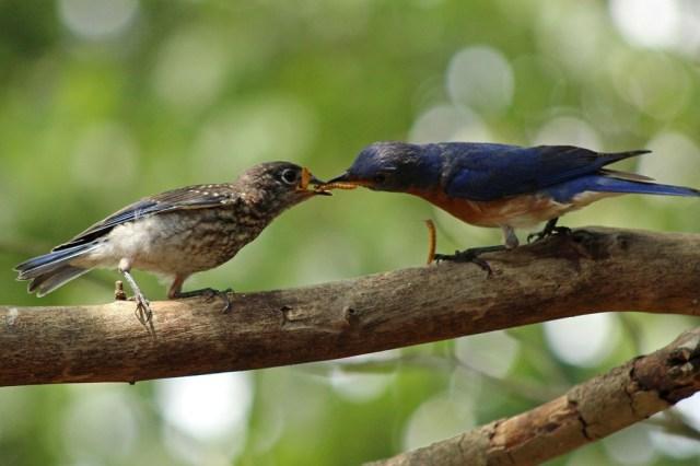 bluebirds3