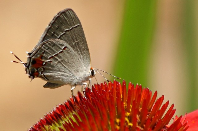 hairstreak3