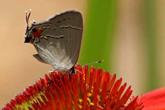 hairstreak5