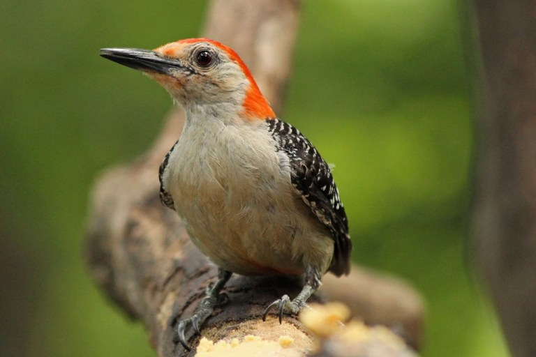 red-bellied3