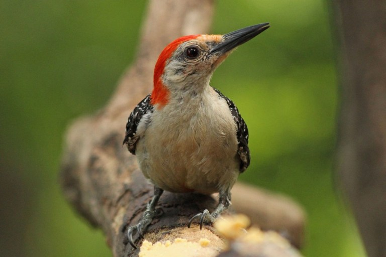 red-bellied4