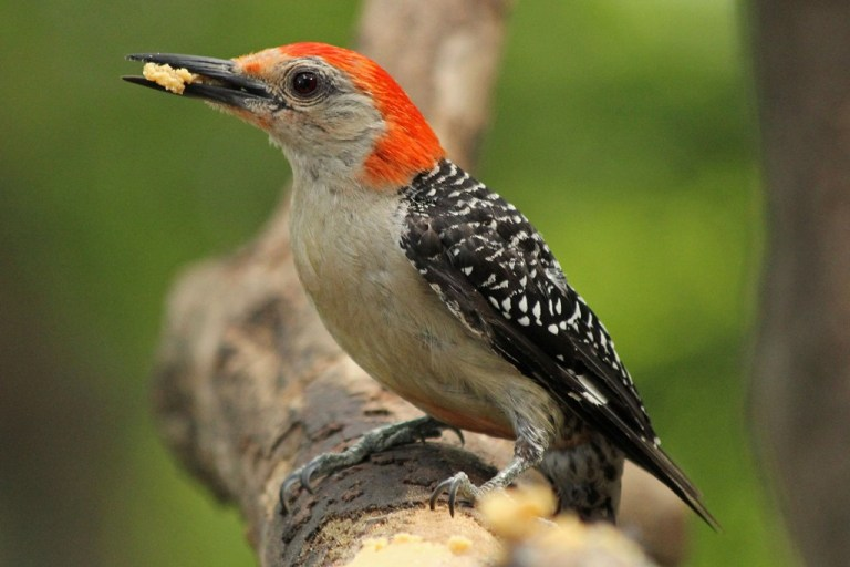 red-bellied5