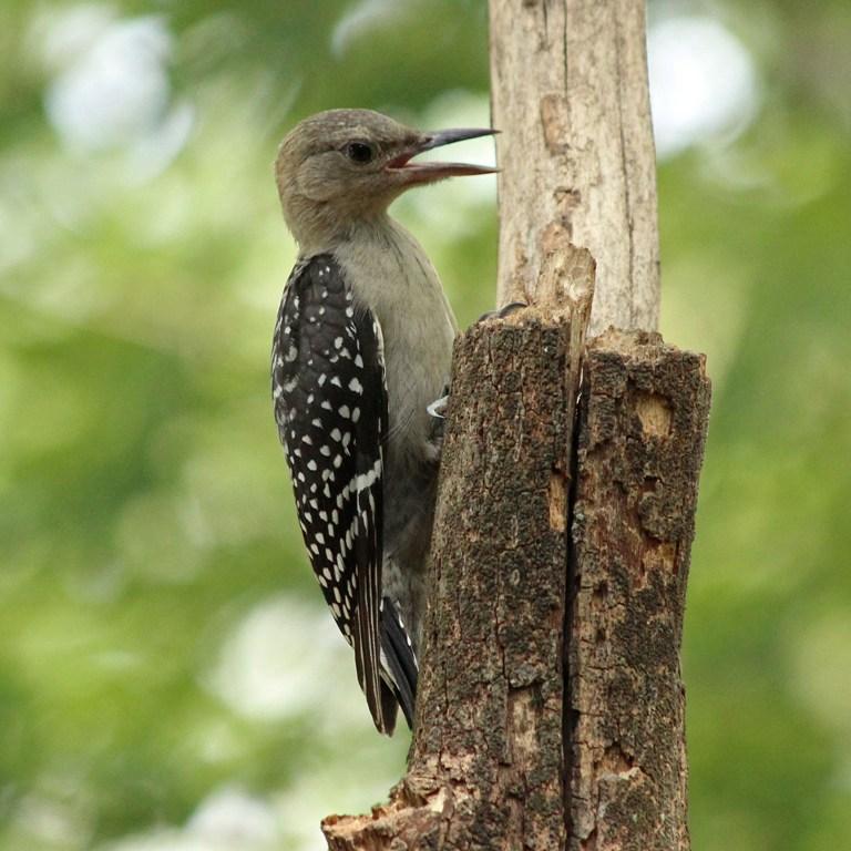woodpecker9