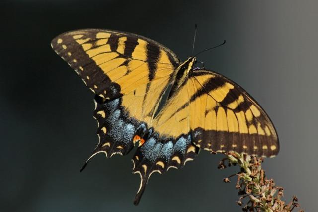 femaleswallowtail