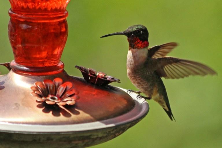 rubythroatedhummimgbird