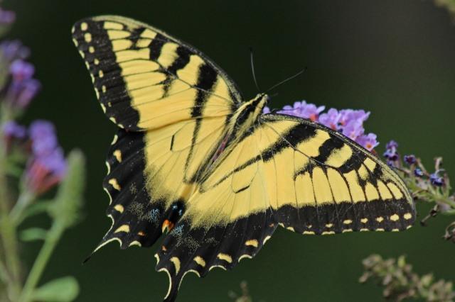 swallowtail1