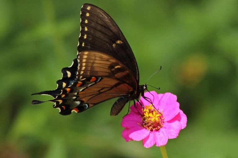 swallowtail4