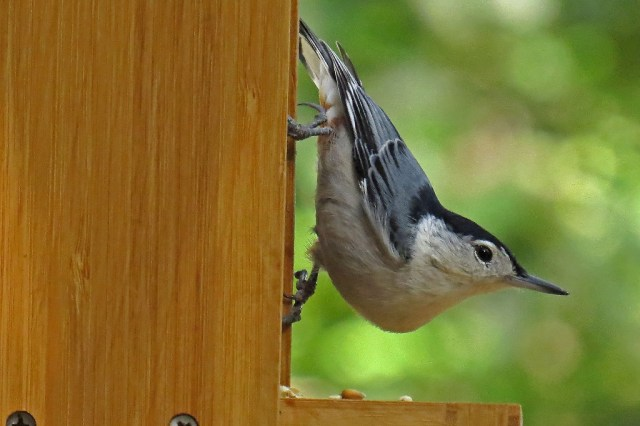 white-breasted-nuthatch