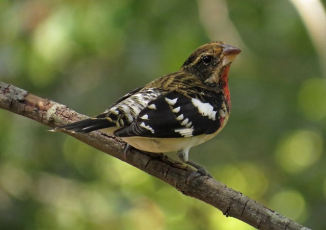 grosbeak1