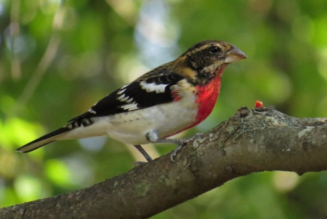 grosbeak5