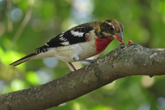 grosbeak6