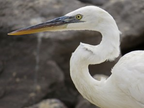 Great Blue Heron (white morph)