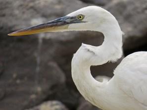 Great Blue Heron (white morph)