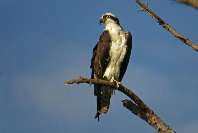 osprey10