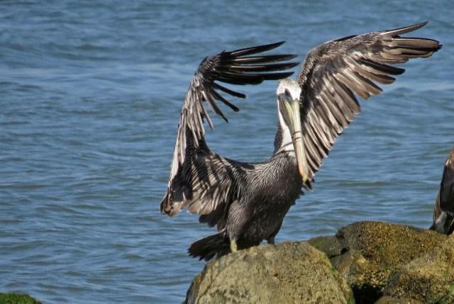 pelican10
