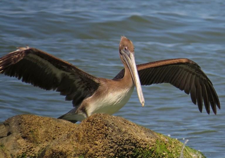 pelican11