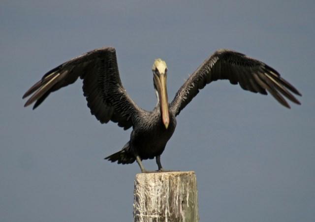 pelican12
