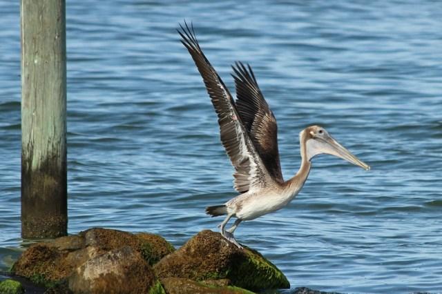 pelican13