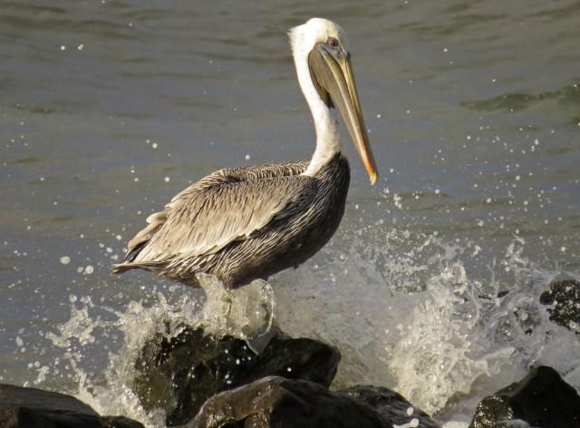 pelican3