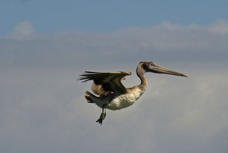 pelican8