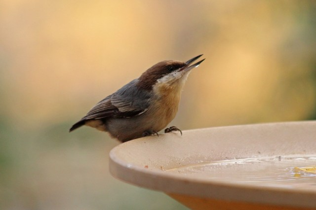brown-headednuthatch2