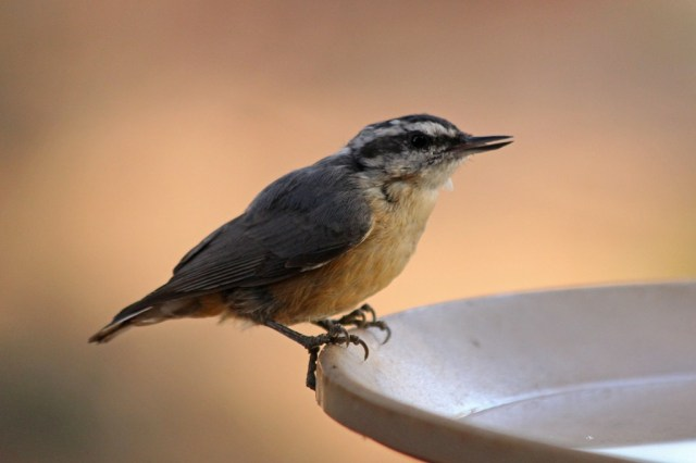 red-breastednuthatch2