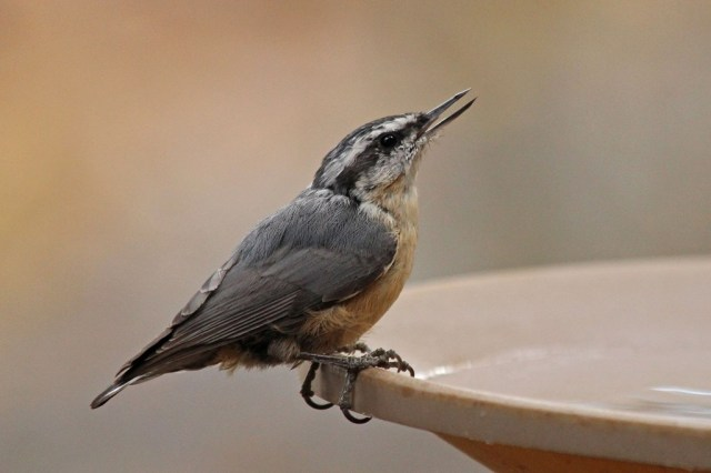 red-breastednuthatch3