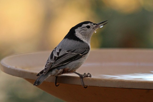 white-breastednuthatch1