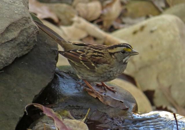 white-thraotedsparrow