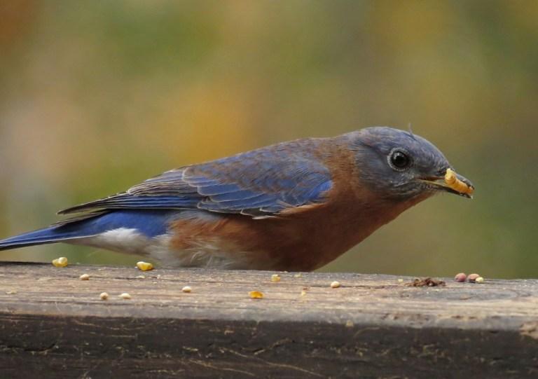 bluebird3